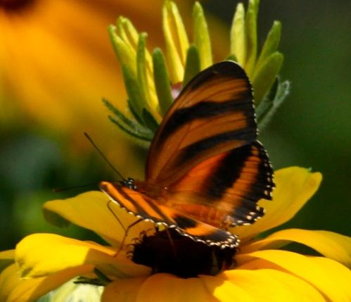Banded Orange (Dryadula phaetusa)