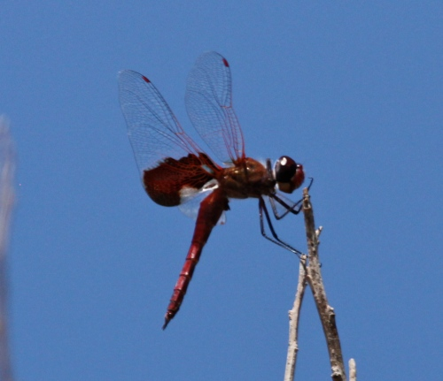 Red Saddlebags Dragonfly - Tramea onusta