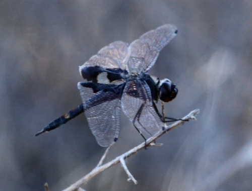 Black Saddlebags Dragonfly - Tramea lacerata