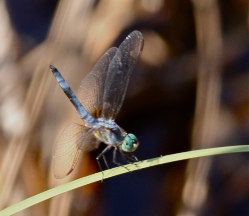 Blue Darter Dragonfly