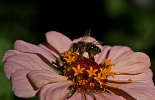 Bee on a zinnia.