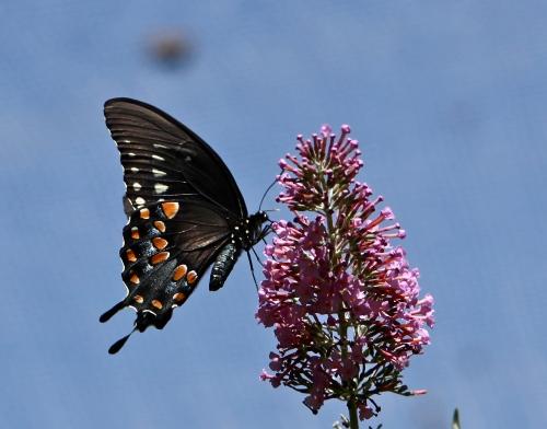 Spicebrush Swallowtail (Papilio troilus)
