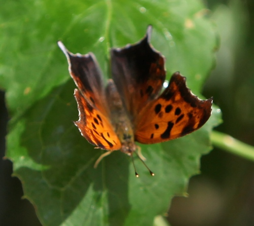 Question Mark (Polygonia interrogationis)