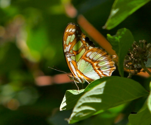 Malachite butterfly (Siproeta stelenes)