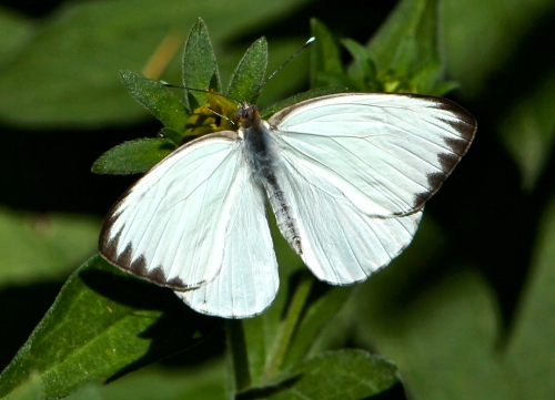 Great Southern White (Ascia monuste)