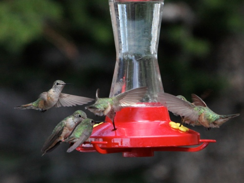 Rufous and Broad-tailed Hummingbirds.