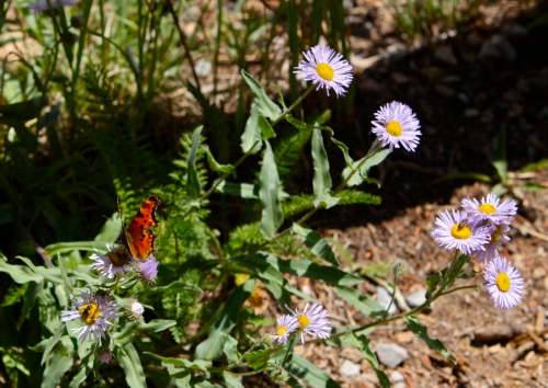 Question Mark Butterfly on Spreading Fleabane.