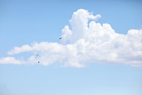 Common Ravens flying overhead.