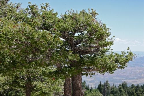 Trees at Sandia Crest, showing flagging from the strong winds.