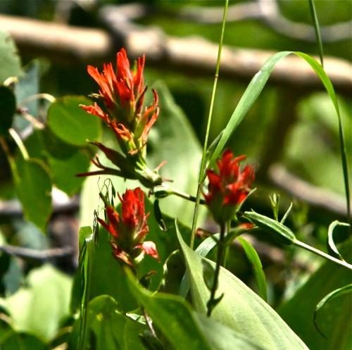 Indian Paintbrush (Scrophulariaceae Castilleja)
