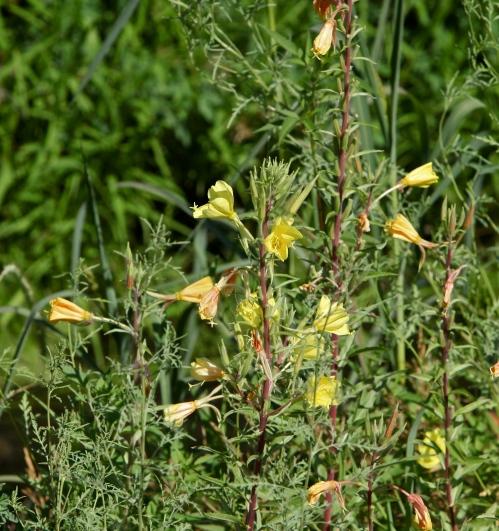 Hyssop Lily
