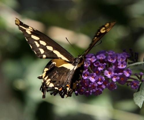 (Papilio cresphontes)