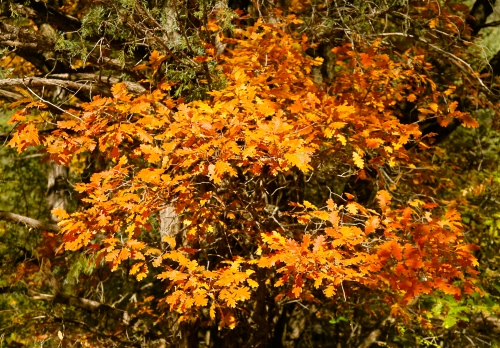 Glorious Gambel Oak color near Battleship Rock.