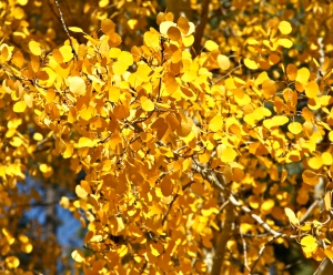 Golden Quaking Aspen