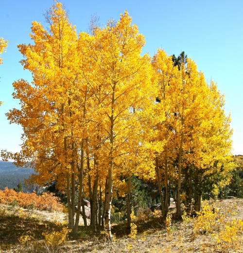 Quaking Aspen, Jemez Mountain, Santa Fe National Forest, New Mexico.