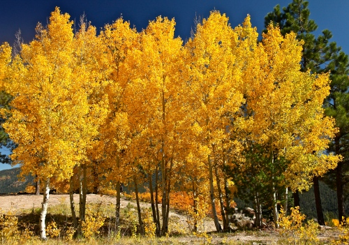 Lovely stand of Quaking Aspen at the overlook.