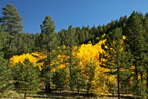Golden Quaking Aspen, Jemez Mountains, Santa Fe National Forest, New Mexico.