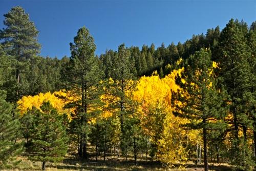 Golden Quaking Aspen, Jemez Mountains, Santa Fe National Forest, New Mexico.