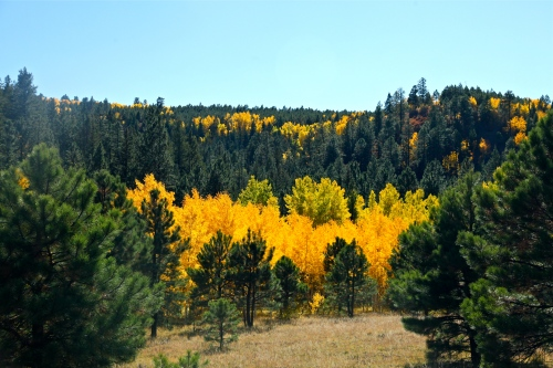 Golden Quaking Aspen, Jemez Mountains