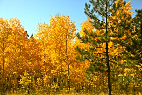 Aspen grove, Jemez Mountains.