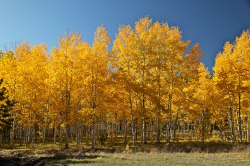 Aspen grove, Jemez Mountains