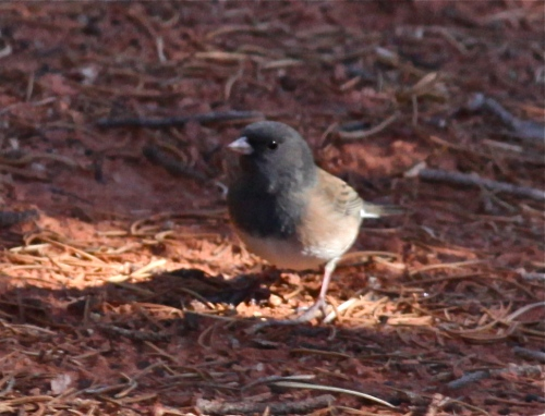 Dark-eyed Junco (Oregon variety).