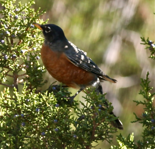 American Robin in a Rocky Mountain Juniper