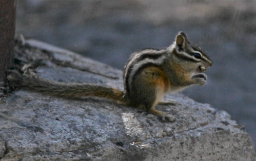 Least Chipmunk, Fenton Lake, Jemez Mountains, New Mexico.