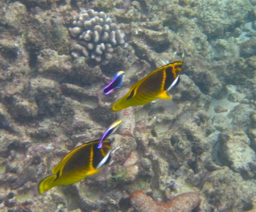 Raccoon Butterflyfish, Hawaiian Cleaner Wrasse, Koloa, Kauai