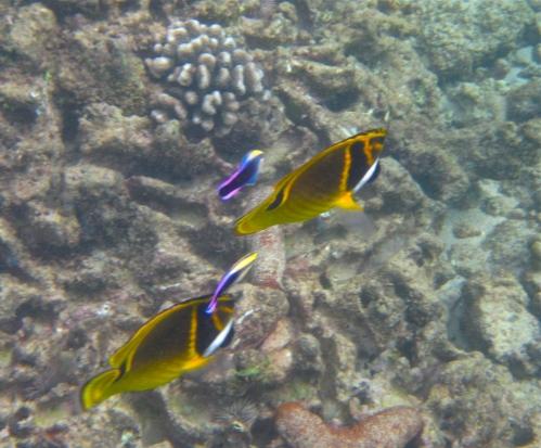 Raccoon Butterflyfish, Hawaiian Cleaner Wrasse, Koloa, Kauai