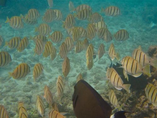 Convict Tang, Orangespine Surgeonfish, Koloa, Kauai, Hawaii