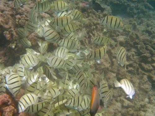 Bicolored Anthius, Convict Tang, Koloa, Kauai, Hawaii