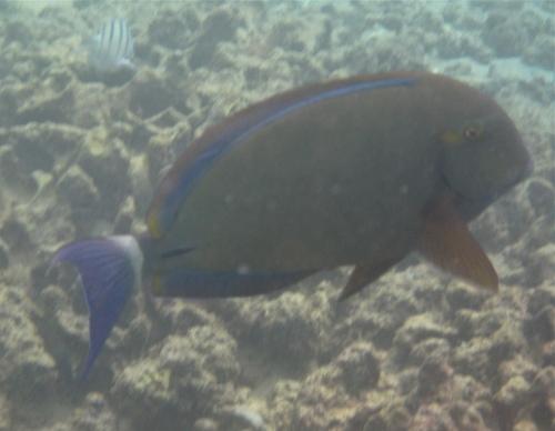 Orangespine Surgeonfish, Koloa, Kauai