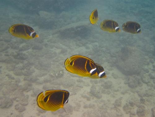 Raccoon Butterflyfish, Koloa, Kauai