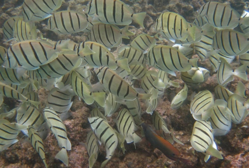 Bicolored Anthius, Convict Tang, Koloa, Kauai, Hawaii