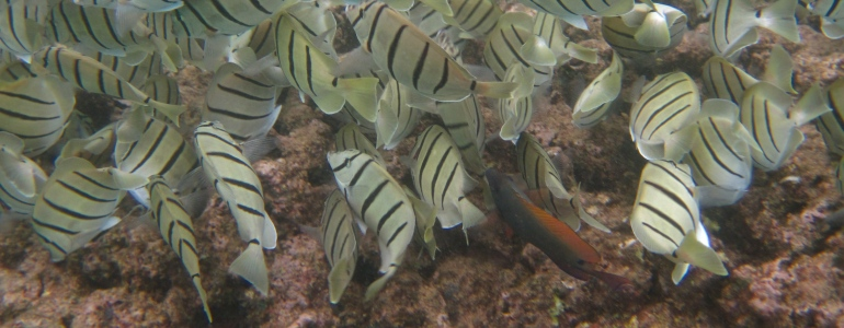 Bicolored Anthius, Convict Tang